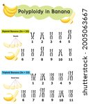 polyploidy in banana  which... | Shutterstock .eps vector #2005063667