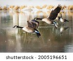 A Pair Of Canada Geese Land...