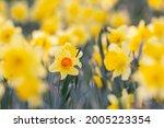 Orange Daffodil  Narcissus  In...