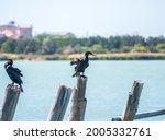 Great Cormorant  Phalacrocorax...