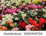 Colorful Flowers Of Tuberous...
