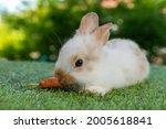 White Baby Rabbit Eats Carrot...