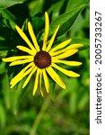 A Golden Sunflower With A...