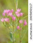 Small photo of beautiful pink flowers of the Common centaury (Centaurium erythraea) growing wild on Salisbury Plain