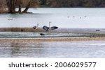 A Grey Heron Pair On A Lake...