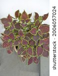 Small photo of Coleus is a genus of annual or perennial herbs or shrubs,sometimes succulent, sometimes with a fleshy or tuberous rootstock. Lamiaceae.Cultivated as ornamental plants for its brightly coloured foliage