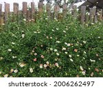 Photo Of Common Daisy In The...