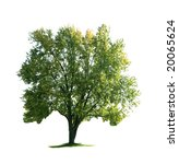 giant maple tree isolated on... | Shutterstock . vector #20065624