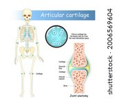cartilage. human skeleton with... | Shutterstock .eps vector #2006569604