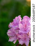 Blooming Pink Rhododendron...