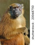 Old Female Guinean Baboon...