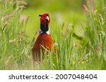 Ring Necked Pheasant  Phasianus ...