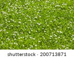 clover green flower field - close up - stock photo