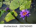 Purple fragrance lotus in pond - stock photo
