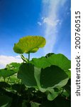 Lotus leaf under blue sky - stock photo