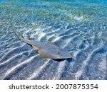 The common guitarfish Rhinobatos rhinobatos  cartilaginous fish in the family Rhinobatidae on the bottom of sea sand in Marsa Alam resort beach Egypt