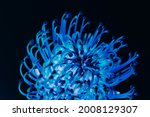 Closed Up Of Blue Pincushion...