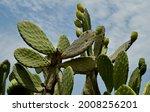 Cactus  Opuntia Humifusa ...
