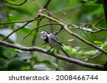 White Wagtail Also Known As...