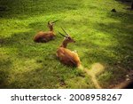 Cute Antilopes Laying On Green...