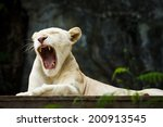 White Tiger Yawn And Lying On...