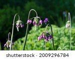 allium cernuum blooms in the...