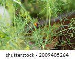 Dill Herb With A Ladybug On The ...