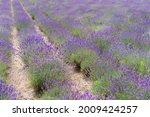 lavender flowers sunset over a... | Shutterstock . vector #2009424257