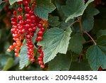 Macro shot of ripening red...