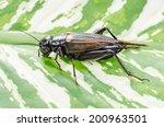 Gryllus bimaculatus cricket on leaves - female.