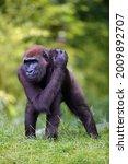 The Western Lowland Gorilla ...