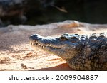 Crocodile Head While Resting...