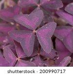 Purple Shamrock Flowers In The...