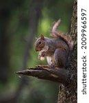 North American Gray Squirrel...