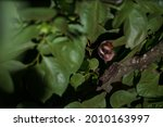 Endemic Nocturnal Primates From ...