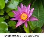 beauty of pink lotus   Shutterstock . vector #201019241