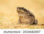 The Cane Toad  Rhinella Marina  ...