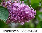 Beautiful Lilac Flowers Branch...