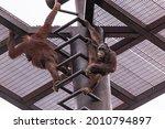 A Low Angle Shot Of Orangutans...