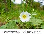 Wild Mallow Flower Growing In...