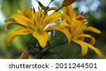 Close Up Of A Yellow  Red Lily. ...