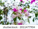 Paperflower Or Bougainvillea Is ...