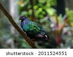 Small photo of The tui(Prosthemadera novaeseelandiae ) is a boisterous medium sized bird native to New Zealand.