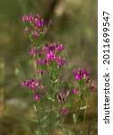 Small photo of purple flowers among the green leaves centaury plant