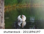 White Beautiful Swan On The...