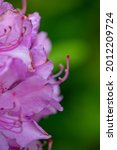 Blossom Pink Rhododendron...