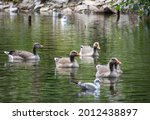 A Family Of Geese Swimming...