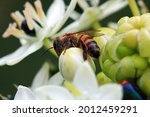 Side View Of A Bee On A White...