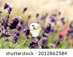 Bright Butterfly On Lavender...