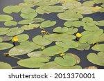 Bright Yellow Water Lily Among...